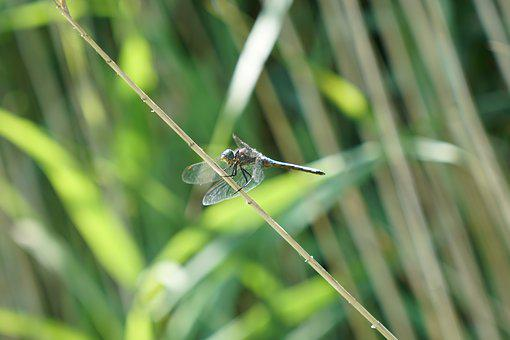 Dragonfly, Flight Insect
