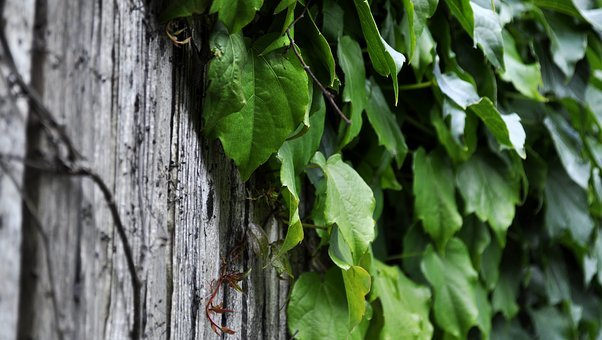 Ivy, Plant, Creeper, Foliage, Wall, Nature, Green, Leaf