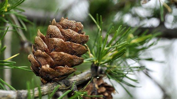 Larch, Pine Cone, Iglak, Christmas Tree, Sprig
