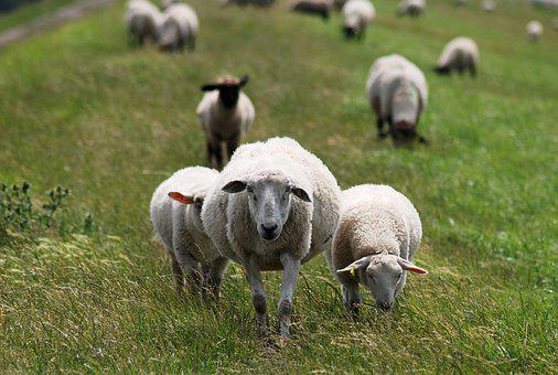 Sheep, Dike, Dike Sheep, Wool, Friesland, North Sea