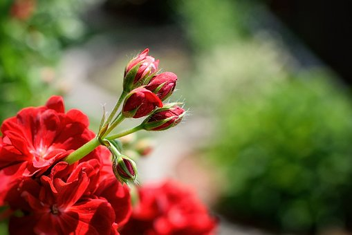 Pelargonium, Nutmeg, Red, Garden, Summer, Flower, Bud