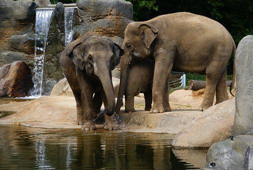 Elephants, Zoo, Proboscis, Animal, Animals