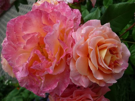 Rose, Magnificent Flower, Popular Floral Style, Garden
