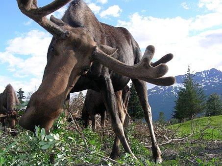 Moose, Alaska, Animal, Wildlife, Nature, Wild, Species