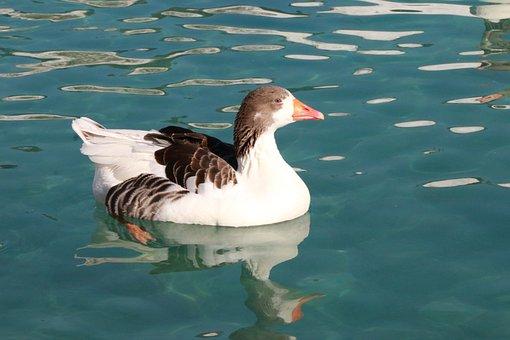 Duck, Marine, Bird, Animal, Izmir, Peace, Nature, Wild