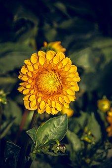 Dahlia, Blossom, Bloom, Asteraceae, Autumn, Composites