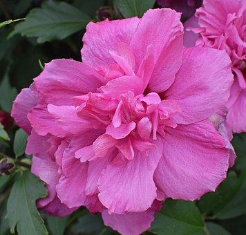 Double Rose Of Sharon, Flower, Blossom, Bloom, Tree