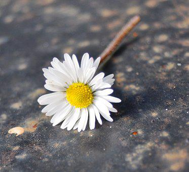 Daisy, Nature, Perspective