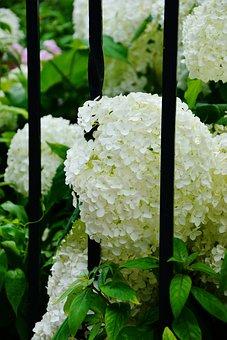 Hydrangeas, White Hydrangeas, Garden, Garden Fence