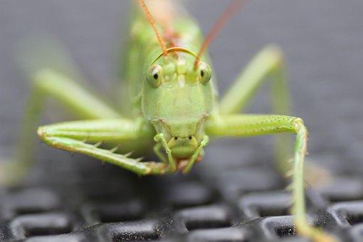 Grasshopper, Insect, Grille, Green, Close, Macro, Probe