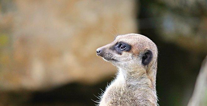 Meerkat, Mongoose, Scharrtier, Ausschau, Funny, Watch