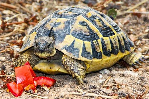 Turtle, Tortoise, Animal, Greek Tortoise, Panzer