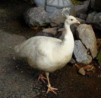 Peacock, White, Feather, Animal World, Bird, Bill, Head