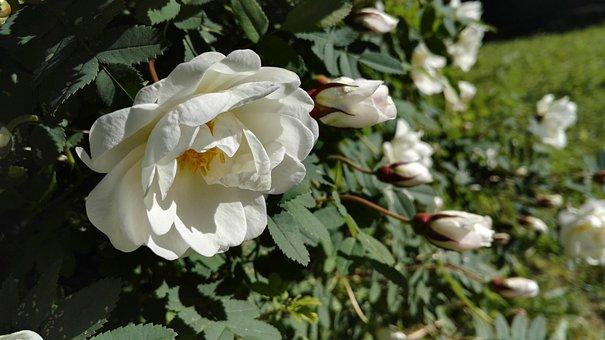 Midsummer Roses, Summer, Rose, Sunny, Bloom