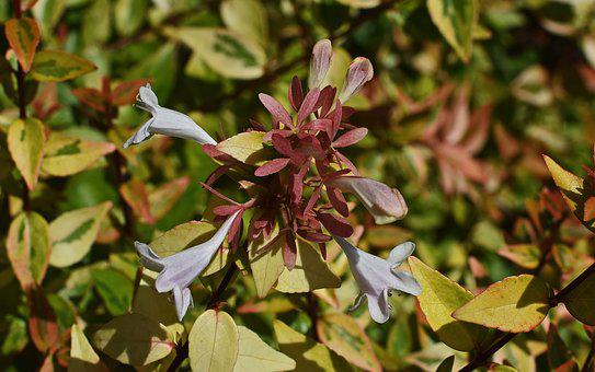 Variegated Abelia, Flower, Blossom, Bloom