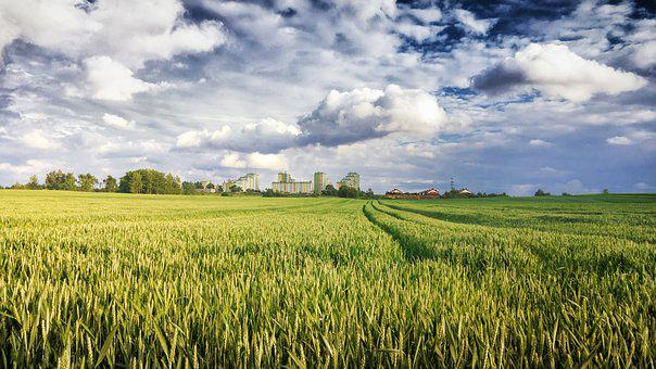 Field, Rye, Corn, Agriculture, The Cultivation Of