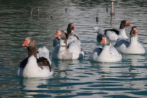 Duck, Marine, Bird, Animal, Peace, Nature, Wild