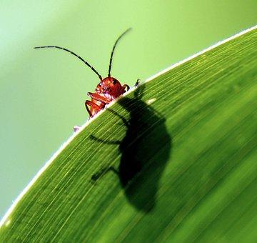 Beetle, Probe, Red, Corn, Leaf, Macro, Crawl, Close