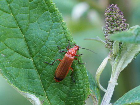 Beetle, Blossom, Bloom, Insect, Red Beetle, Animal