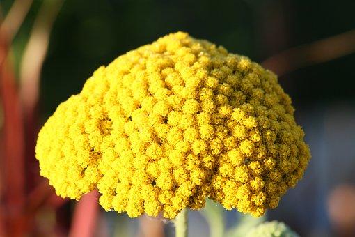 Fernleaf, Flower, Yellow, Blossom, Bloom, Yellow Yarrow