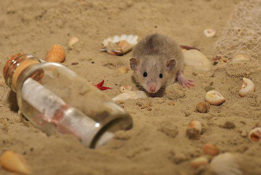 Rat, Rodent, Animal, Nager, Color Rat, Cute, Curious