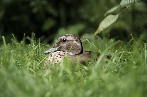 Duck, Meadow, Water Bird, Nature, Animals, Bird