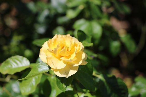 Flower, Rose, Foliage, Yellow, Green, Petal