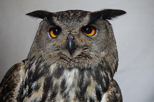 Owl, Hedwig, Harry Potter, Eagle Owl, Bird, Plumage