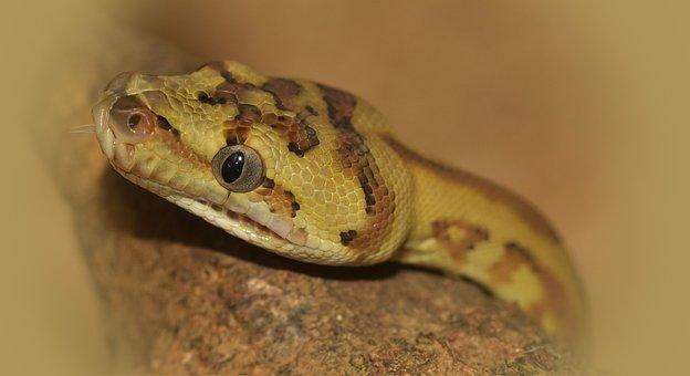 Snake, Head, Carpet Python, Reptile, Animal