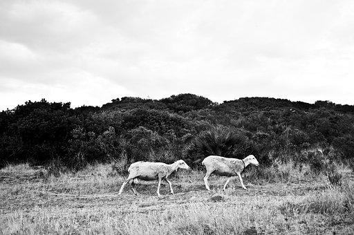 Sheep, Sardinia, Campaign, Lamb, Flock