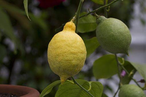 Lemon, Citrus Fruit, Lemon Tree, Food, Citrus, Vitamins