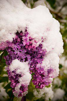 Lilac, Spring, Winter, Bloom, Garden, Bush, Flower
