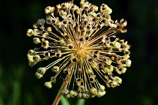 Leek, Ornamental Onion, Blossom, Bloom, Nature, Flower
