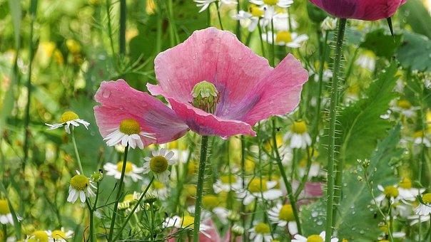 Poppy Flower, Pink Poppy, Poppy, Blossom, Bloom