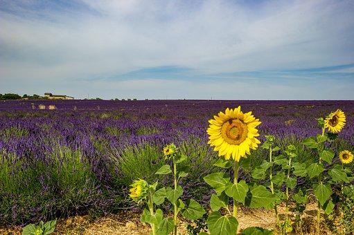 Sunflower, Provence, Landscape, Lavender