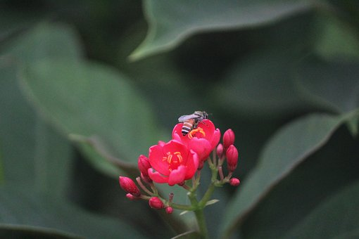 Red Flower, Honey Bee, Pollination