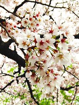 Cherry, In Full Bloom, Spring