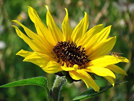 Flowers, Yellow, Sunflower, Nature, Yellow Flower