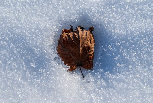 Winter, Leaf, Snow, White, Dead, Frost, Frozen Leaf