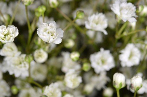 Gypsophila, Floristry, Flower, Accessories, Tender