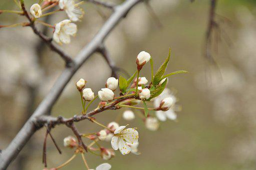 Spring, Bloom, Nature, Branch, May, Cherry, Apple Tree