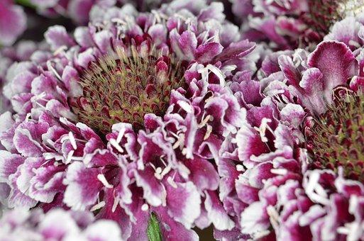 Scabiosa, Schnittblume, Purple, Red, Blossom, Bloom