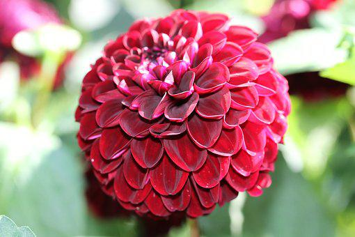 Dahlia, Red, Dahlia Garden, Blossom, Bloom, Garden