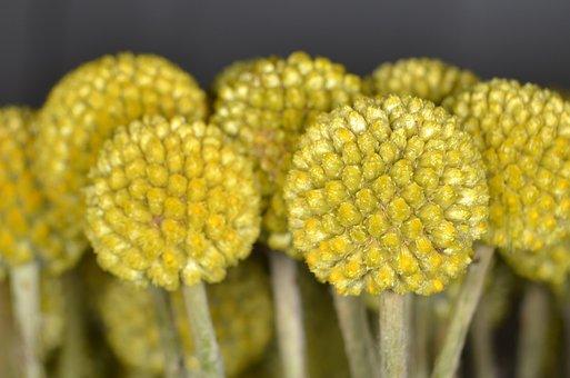 Craspedia, Schnittblume, Floristry, Yellow, Ball