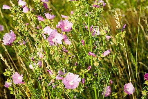 Roses-mallow, Flowers, Flower Meadow, Flower, Rose