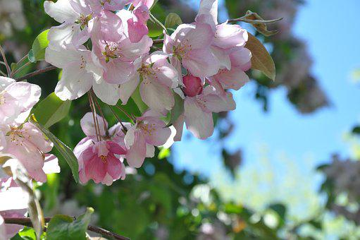 Flowers, Spring, Apple Blossoms, Pink Flowers, Plant