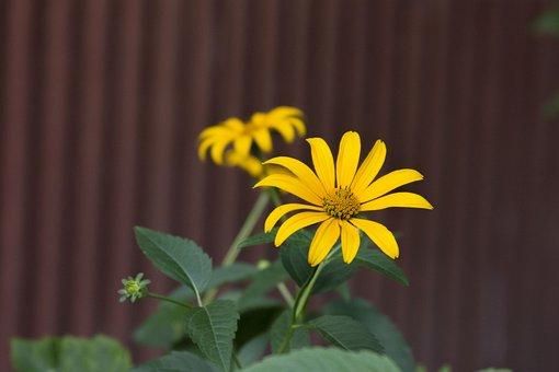 Flower, Yellow, Green, Burgundy, Flowers