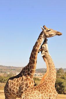 Giraffe, Game, Reserve, Mother, Child, Love, Together