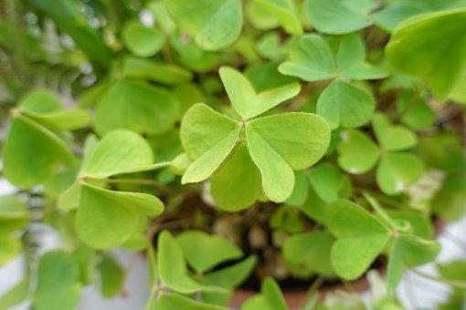 Green, Wood Sorrel, European Wood-sorrel, Wood Sour