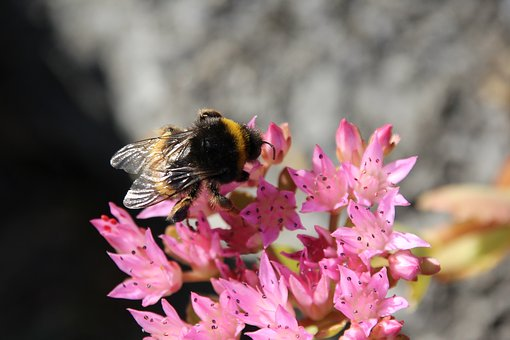 Hummel, Blossom, Bloom, Insect, Pollination